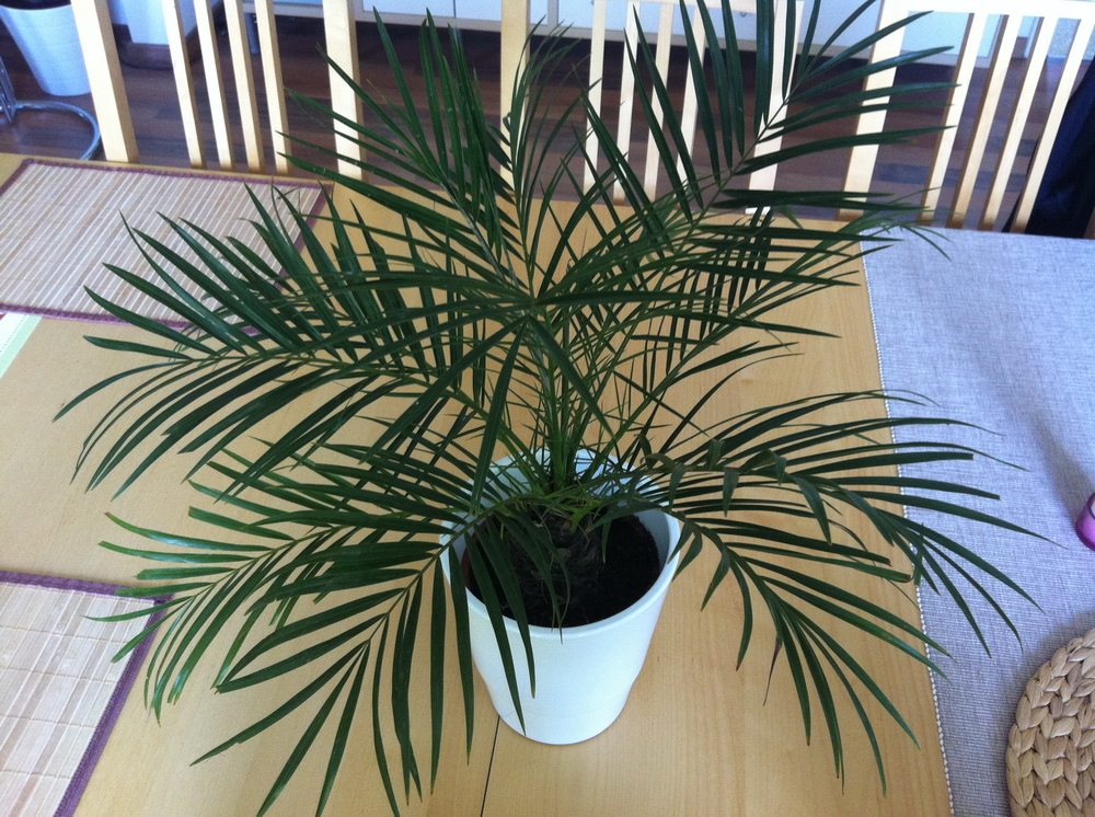 Пальмы все о пальмах в домашних условиях 149