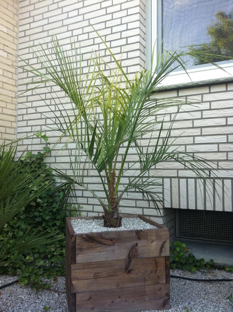 palmen unser garten exotische pflanzen. Black Bedroom Furniture Sets. Home Design Ideas